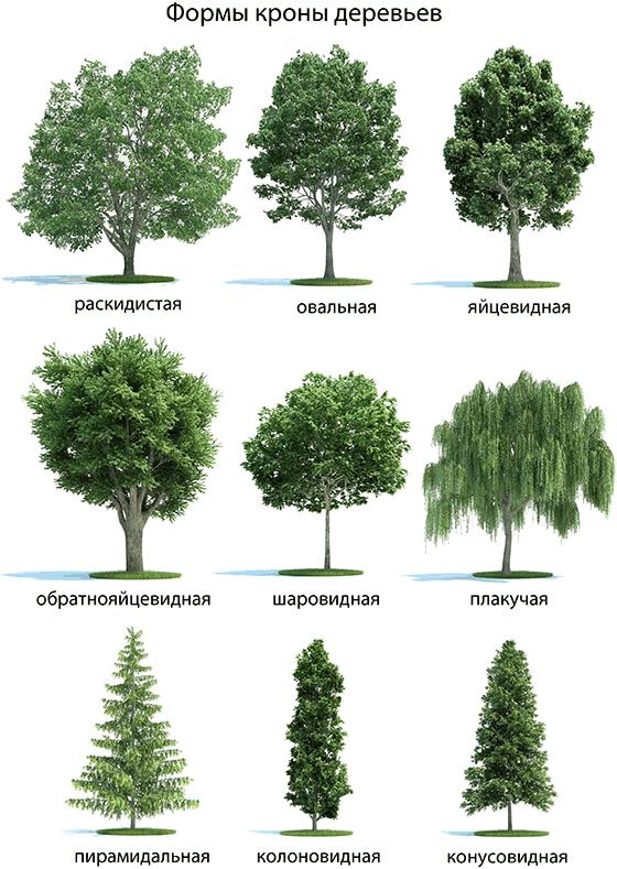 Декоративные особенности деревьев